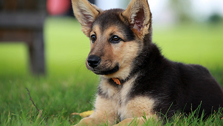 Fluffy brown and black puppy sitting in grass