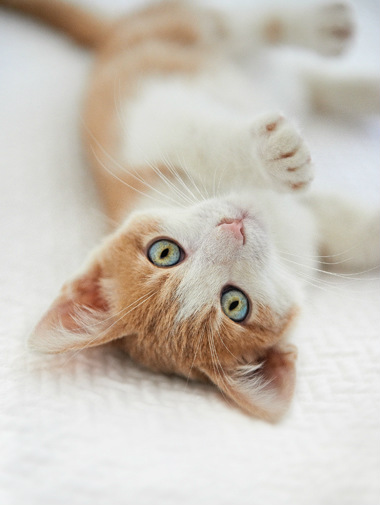 White and brown kitten laying on back