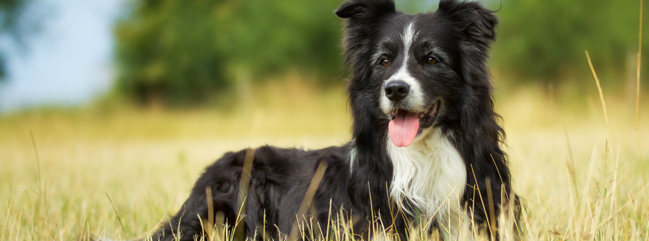Black and white Border Collie sitting with tongue out