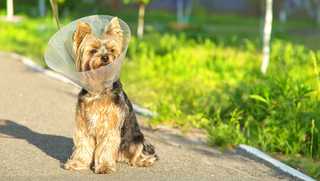 Sick Yorkshire terrier wearing a funnel collar.
