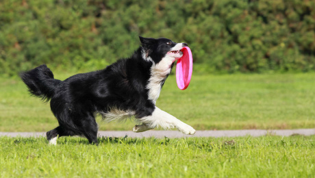 Black and white Border Collie catching pink frisbee