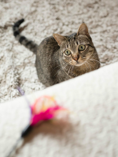 Tabby cat looking at a 'fishing rod' toy at home