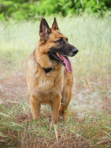 a german shepherd dog outside