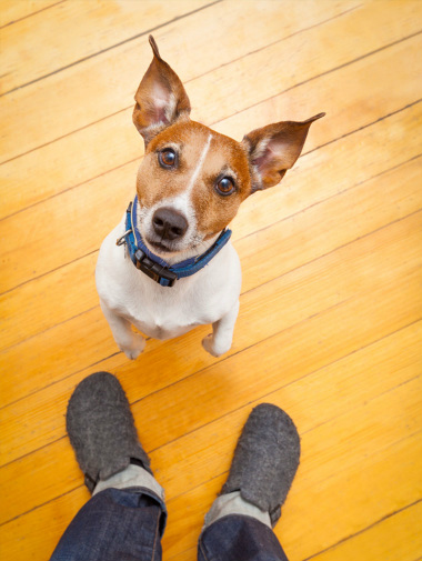 Jack Russel standing on hind legs with owner