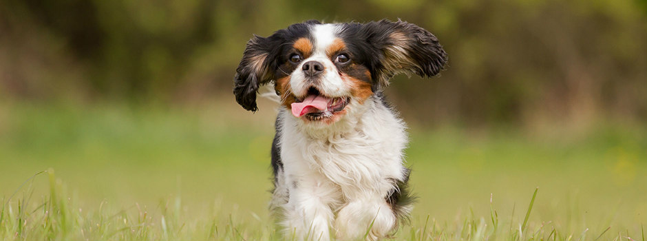 A Cavalier King Charles spaniel runs happily outside