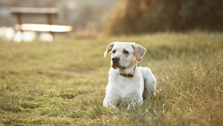 Labrador retriever in park at the sunrise