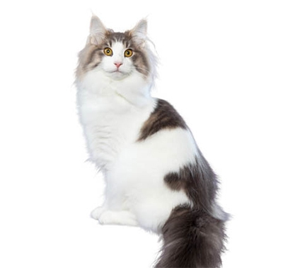 Norwegian Forest