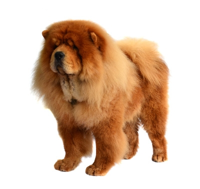 chow chow (rough)