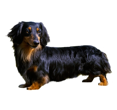 Dachshund (Miniature Long Haired)