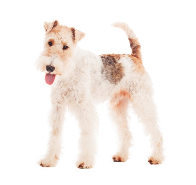 fox terrier wire coat