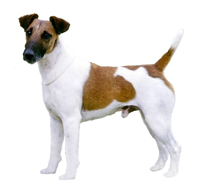 fox terrier smooth coat