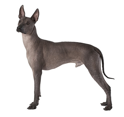 mexican hairless (medium)