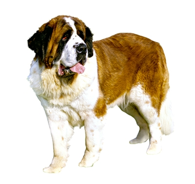 St Bernard (Medium/long coat)