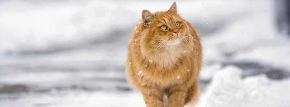 Fluffy ginger cat walking down snowy street