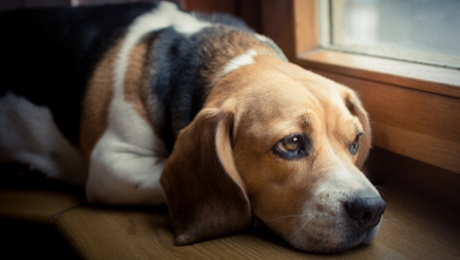 Beagle dog looking out the window