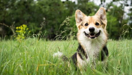 corgi dog in a field