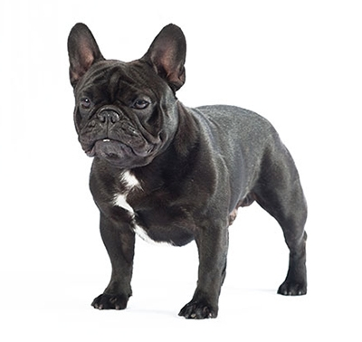 french bulldog dog breed