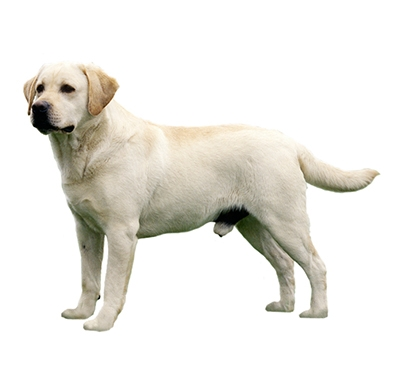 Labrador dog breed