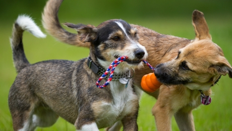 Dogs playing together with toy
