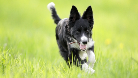 teenage puppy running through a field