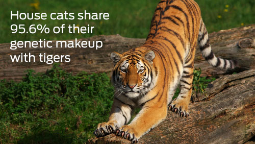 house cats share 95.6% of their genetic makeup with tigers