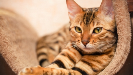 Bengal hypoallergenic cat breed