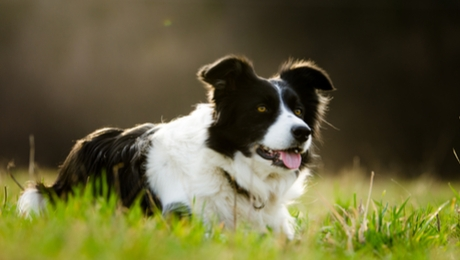 the border collie is the smartest dog breed