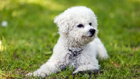 Bichon Frise hypoallergenic dog breed