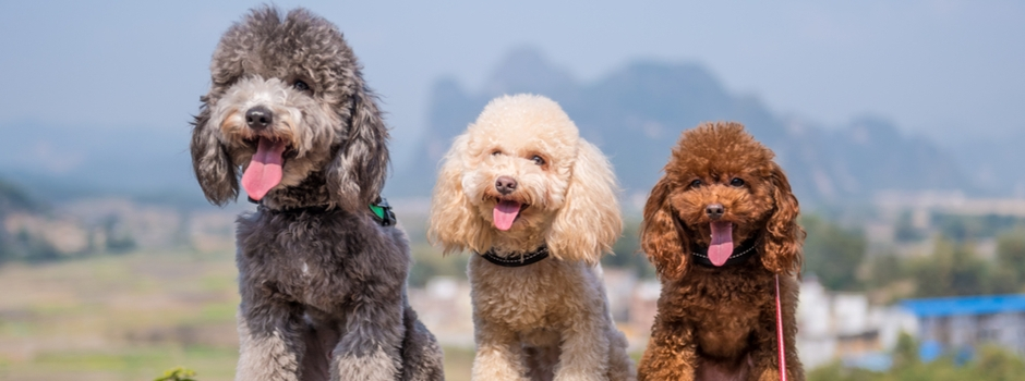 Poodles sitting in a row