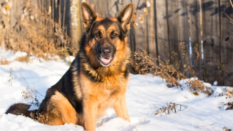German Shepherd in the snow