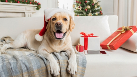 Labrador at Christmastime