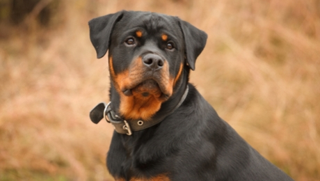 Rottweiler sitting in a field