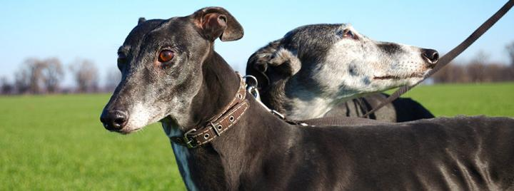 Sighthounds dog
