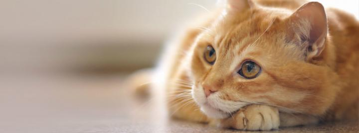 Orange cat gazing away