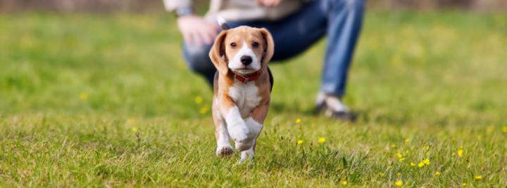 Beagle puppy training