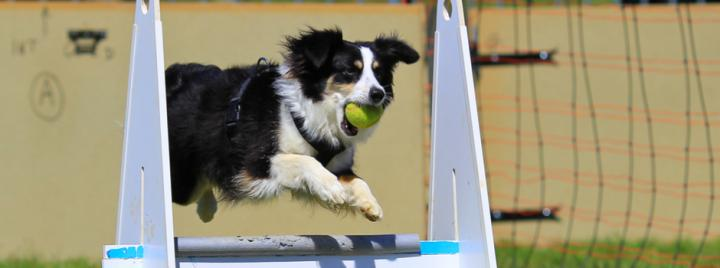Border Collie playing dog sport