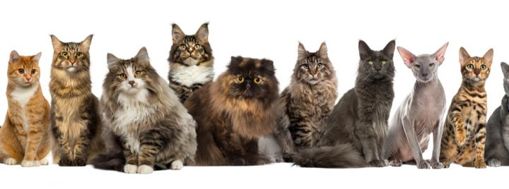 cat breeds sitting in a line