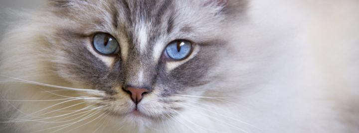 Ragdoll cat breed with blue eyes