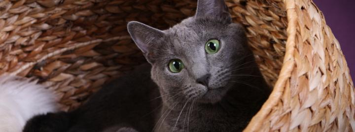 Russian Blue hypoallergenic cat breed
