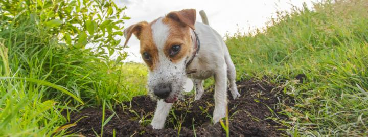 Jack Russell dog digging