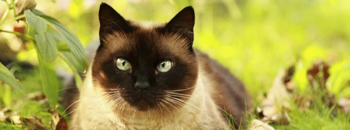 Siamese smart cat breed